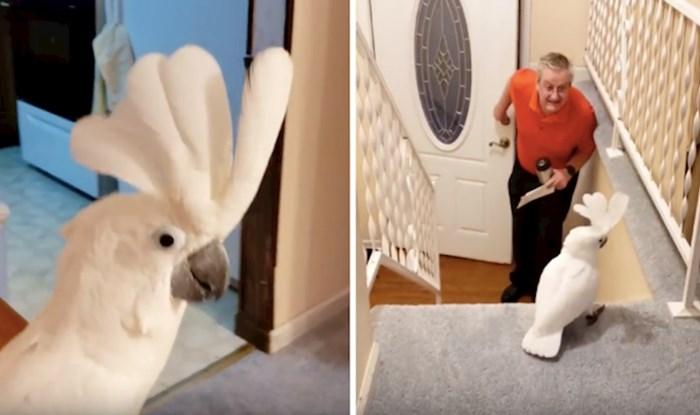 VIDEO Ovaj kakadu potpuno se raspameti kad primijeti vlasnika ispred kuće