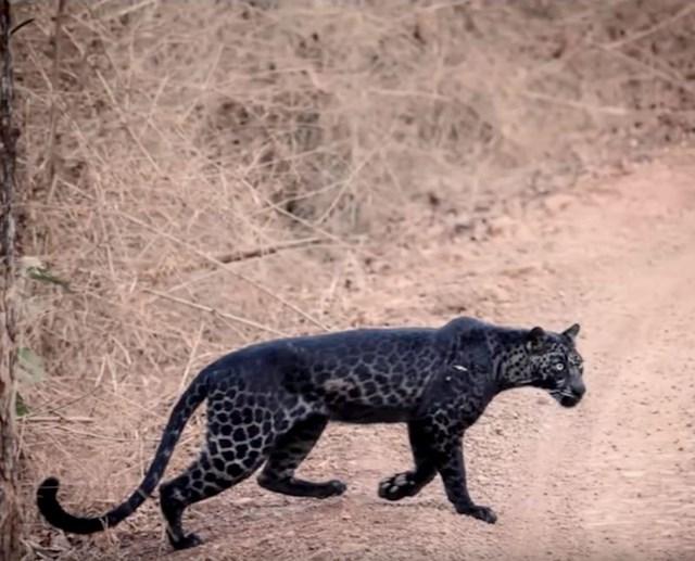 #6 Crni leopard.