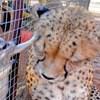 VIDEO Kinji je gepard koji voli biti u centru pažnje, pogledajte što o tome misle merkati