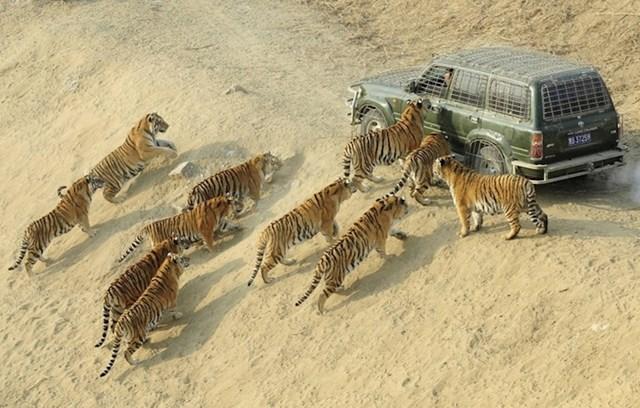 Posao ovog čovjeka je isporučiti hranu sibirskim tigrovima...