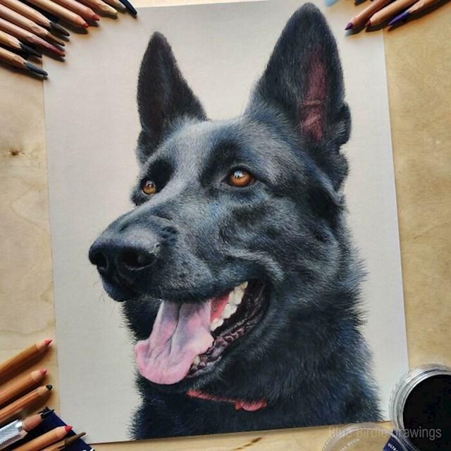 #5 Napravio sam portret njemačkog ovčara s pastelnim olovkama.