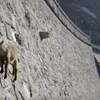 VIDEO Ove koze izvode vratolomije po 50 metara visokoj brani, pogledajte što traže