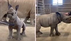 VIDEO Preslatko mladunce nosoroga obožava vrijeme za češkanje