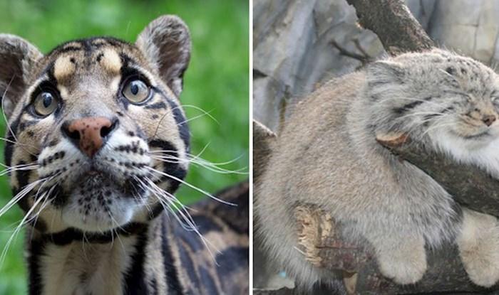 15 rijetkih vrsta divljih mačaka za koje vjerojatno niste znali da postoje