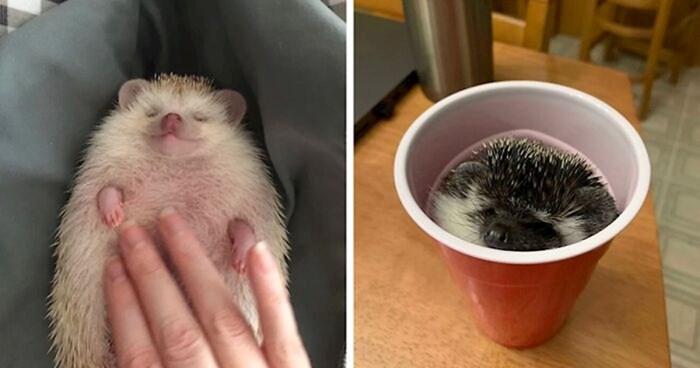 12+ fotki preslatkih ježeva koji jednostavno uživaju u životu