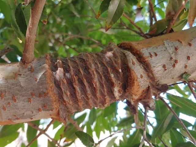 """""""Grana drveta, nakon uklanjanja užeta koje je oko nje bilo omotano."""""""