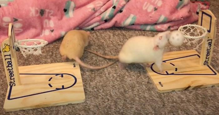 VIDEO Tko je rekao da miševi ne igraju košarku?
