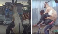 VIDEO Sjećate li se ovog urnebesnog videa? Čovjek vozi bicikl, a na leđima nosi kozu