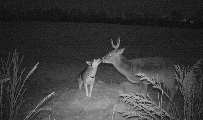 Ovaj izgubljeni haski nekoliko je dana proveo družeći se s jelenom