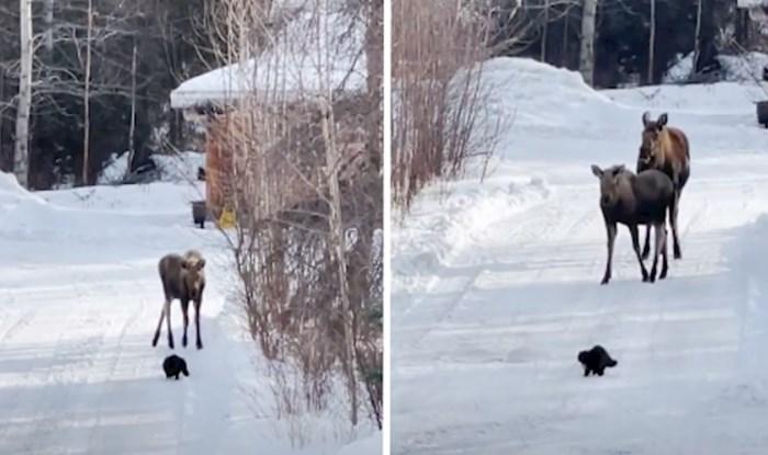VIDEO Nevjerojatno hrabra mačka odlučila se upoznati s losovima
