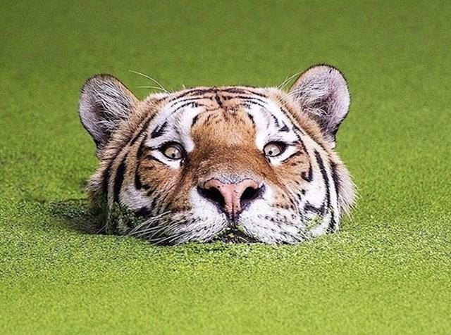 #14 Opasnost od tigra najnovija je stvar na golf terenima