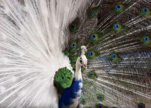 #8 Rijetki polu albino paun.