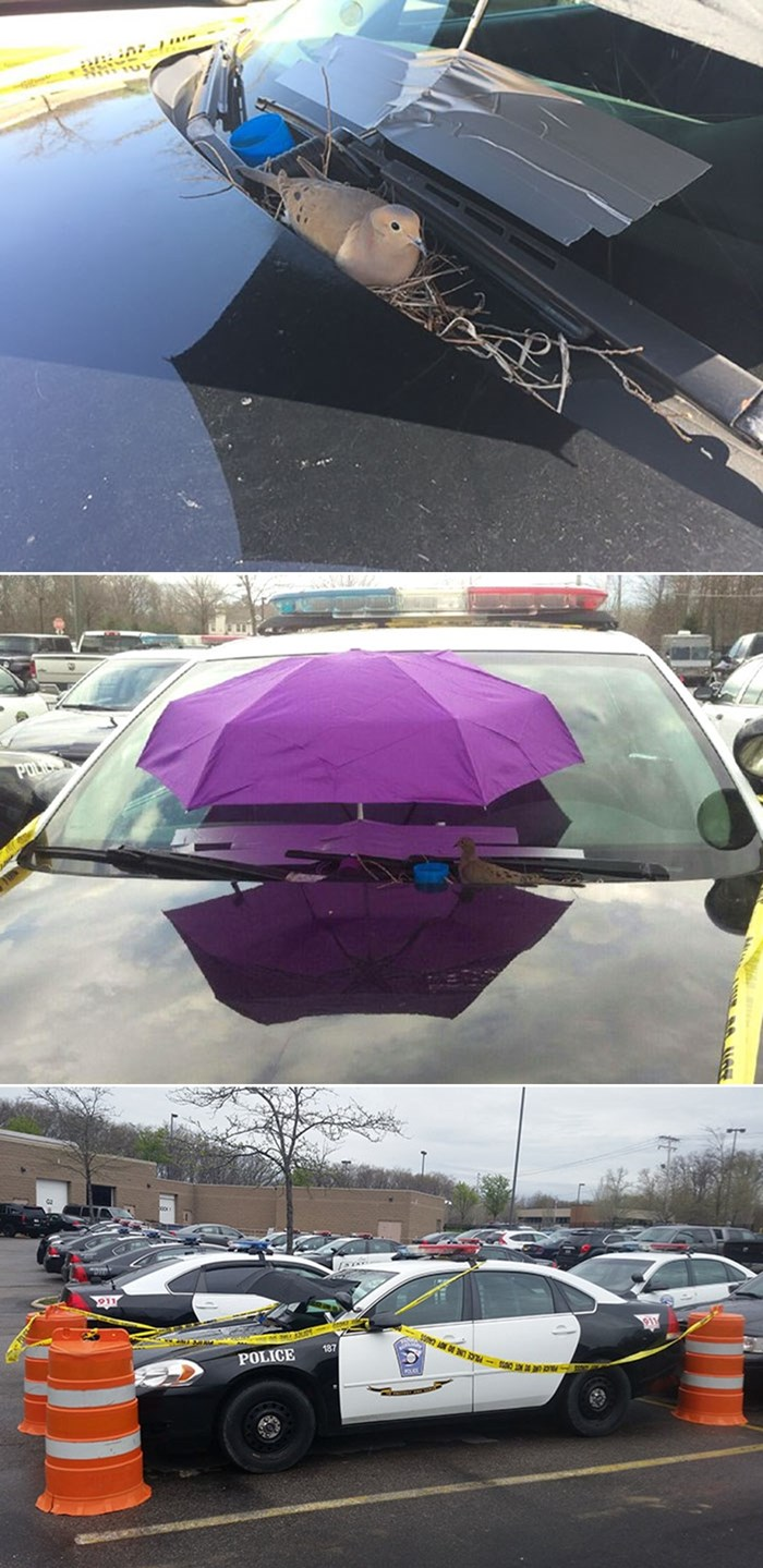 Ptičica sagradila gnijezdo na policijskom autu, oni reagirali na najdivniji način!