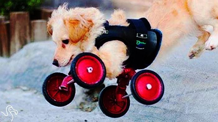 Psića bez prednjih nožica napustio vlasnik, dobila novu obitelj i kul kolica!