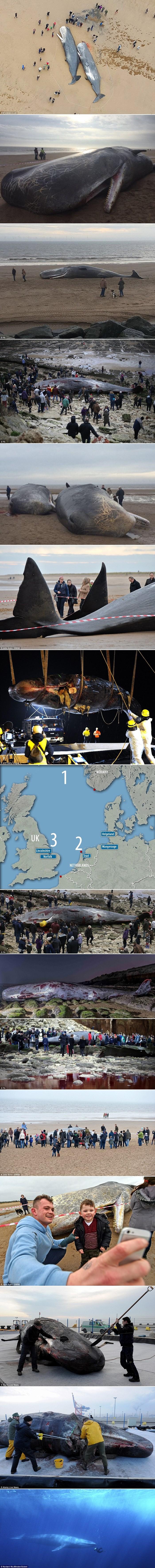 Gomila ulješura se nasukala diljem Sjevernog mora i nitko ne zna zašto, pogledajte fotografije