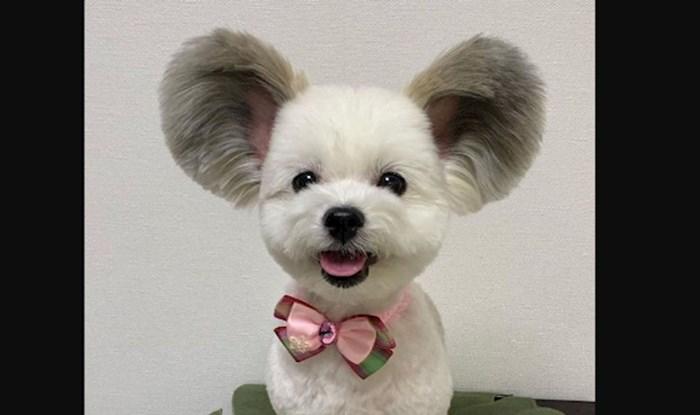 Najslađi psić u povijesti interneta: Maltezer s paperjastim ušima isti je Mickey Mouse