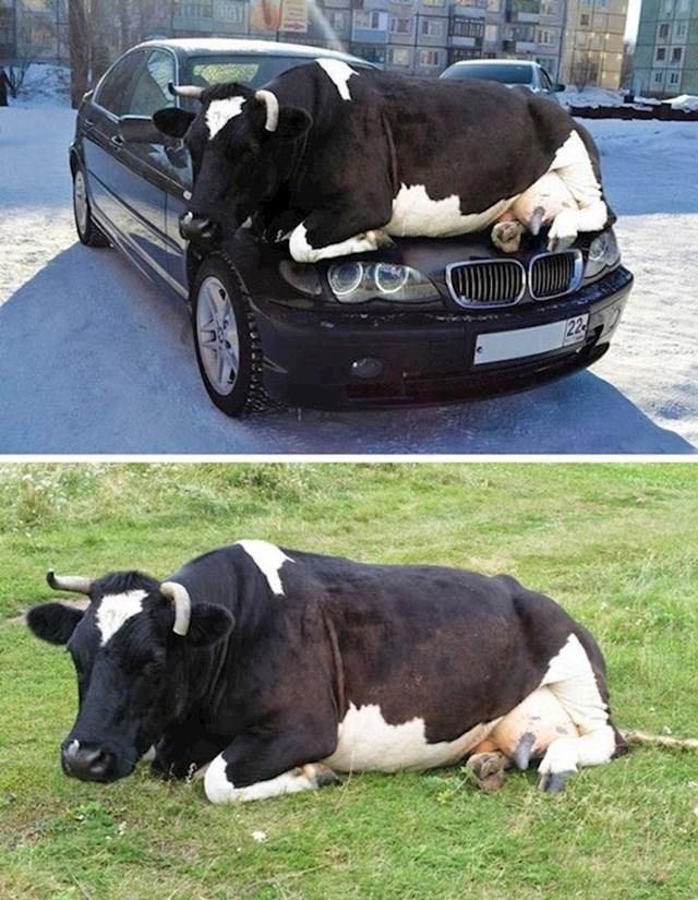 Krava na autu