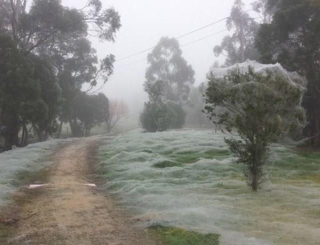 Ovo nije snijeg, ovo je također Australija! Paukova mreža posvuda!