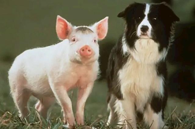 Na snimanju filma Babe korišteno je 48 svinja jer jako brzo rastu