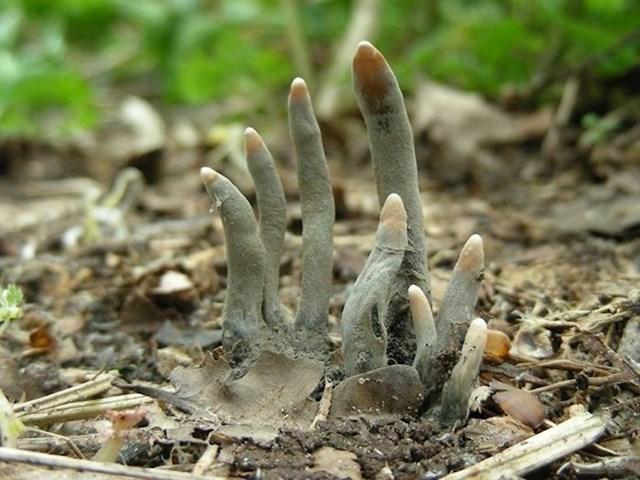 Gljive koje izgledaju kao ruke