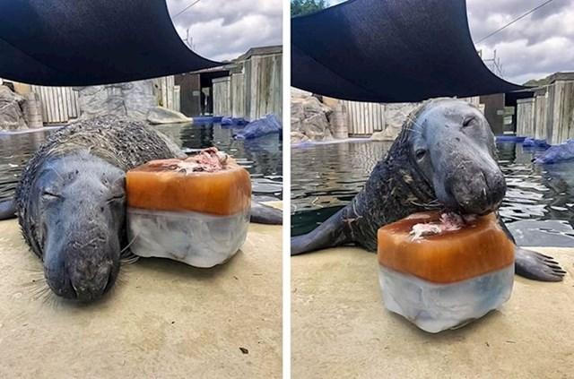 Dobri ljudi iz utočišta za morske životinje spasili su ovog tuljana dva puta i napravili mu ledenu tortu s ribama za njegov 31. rođendan