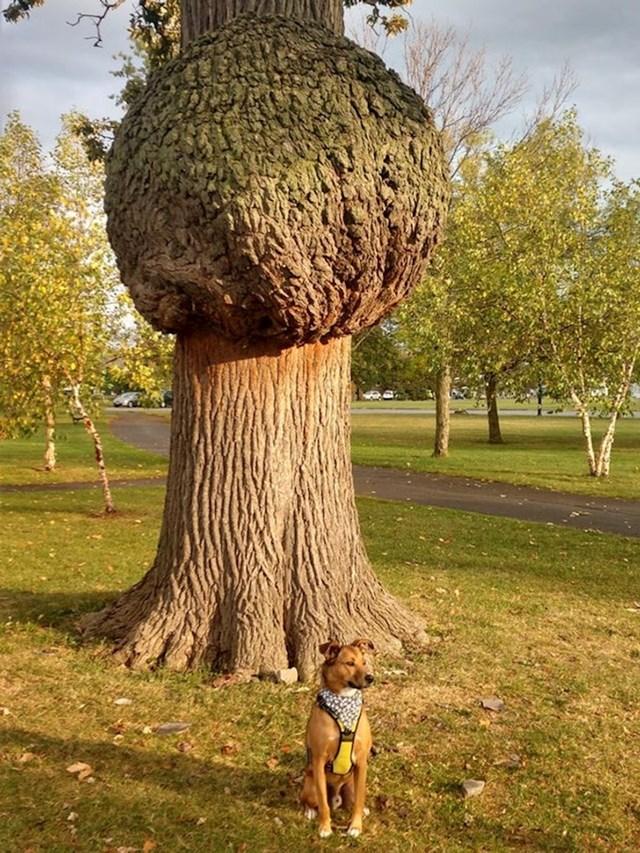 Ogromna deformacija na drvetu