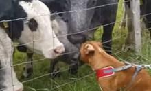 Bokser je došao do krava, ono što se zatim dogodilo iznenadilo je vlasnicu
