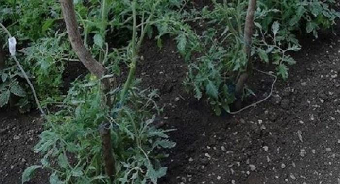 Ovaj Dalmatinac ima malo čudne metode navodnjavanja vrta, kako se samo toga dosjetio?
