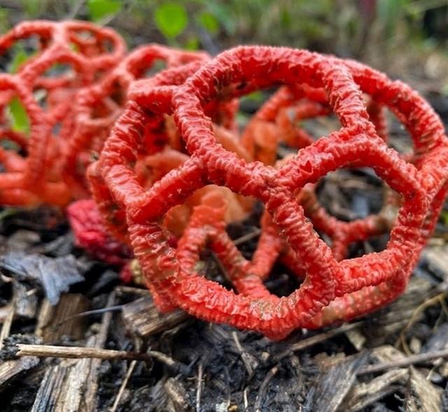 Neobična australska gljiva