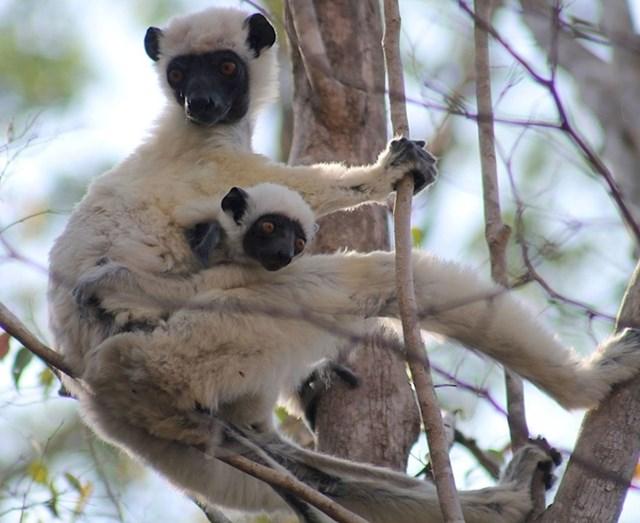 Sifaka lemur, nazvan Von der Decken, po prvom Europljaninu koji se popeo na Kilimandžaro
