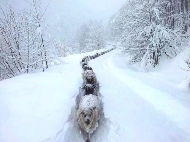 Ovim ovcama ništa ne može stati na put