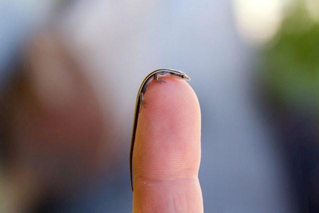 Ovoj životinjici rep je duži od tijela