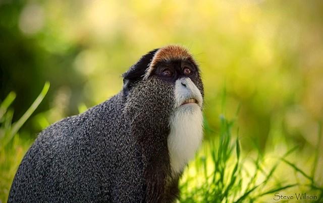 De Brazza majmun