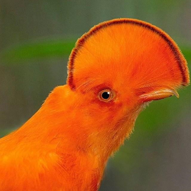 Ova ptica je jedan od simbola Perua