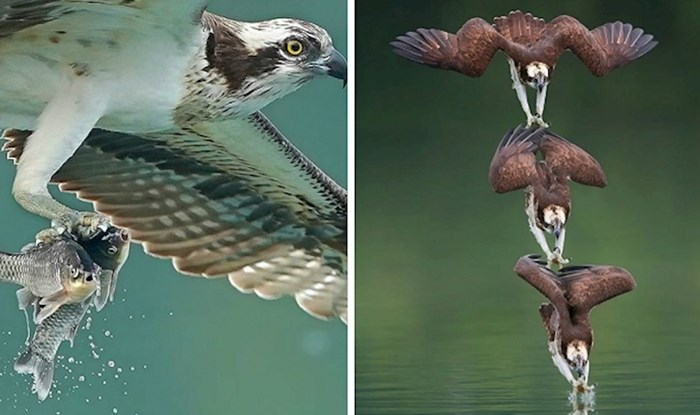 Ove fotografije orlova u lovu dokazuju koliko je u prirodi sve razrađeno do najsitnijih detalja