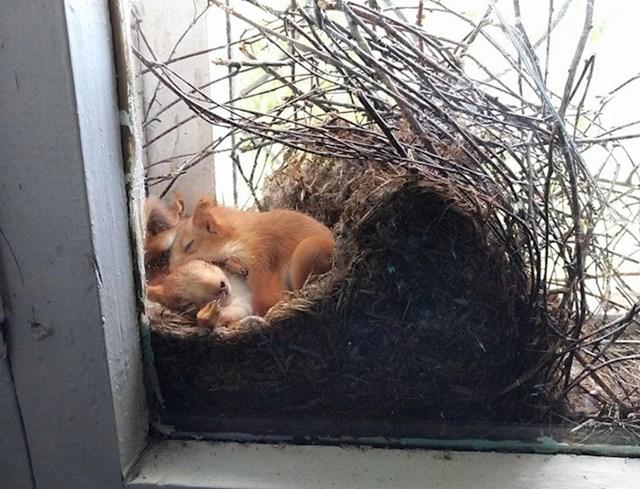 Vjeverice su napravile gnijezdo uz ovaj prozor