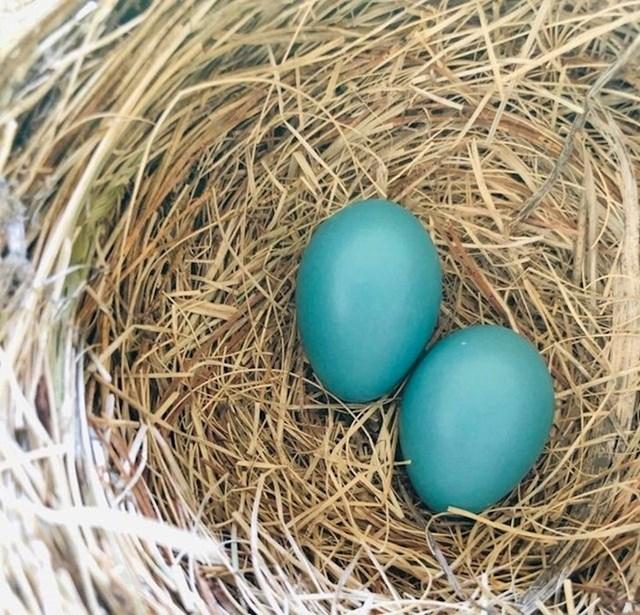 Crvendaćeva jaja