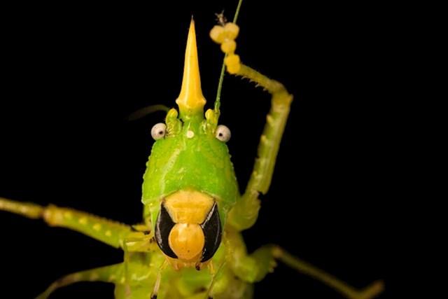 Cvrčak jednorog