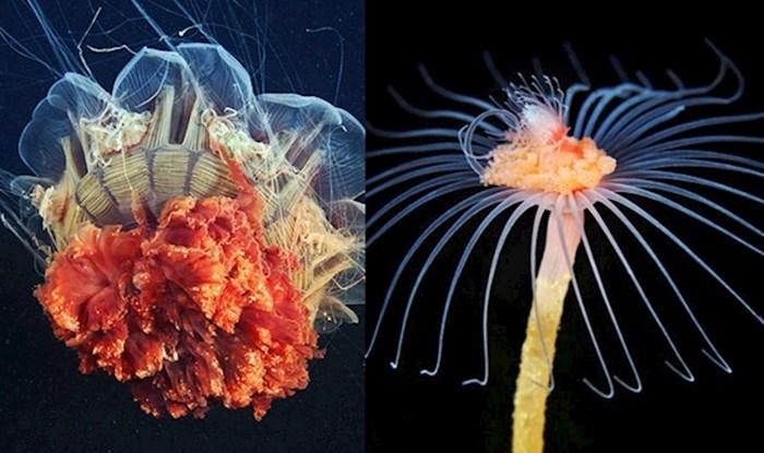 Nevjerojatne fotke bića iz morskih dubina koja izgledaju kao da nisu s ovog planeta