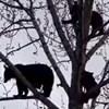 Žena je snimila obitelj medvjeda kako opušteno chillaju na stablu, ovo je sve