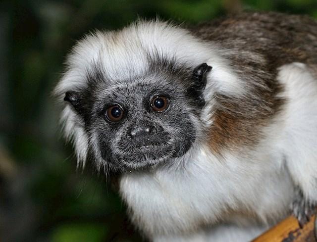Ovaj slatki Tamarini majmun, plaši protivnike tako da im doslovno pokaže guzu