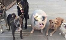 Ova svinja odrasla je s pet pasa i sad misli da je jedna od njih