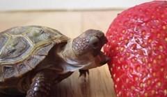 Vlasnik je snimio bebu kornjaču kako jede jagodu, ovo je preslatko