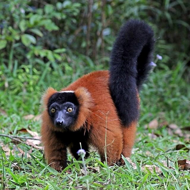 Crveni lemur