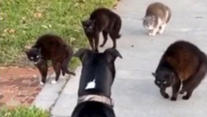 """Vlasnica je snimila urnebesnu scenu susreta njenog psa i """"bande"""" mačaka"""