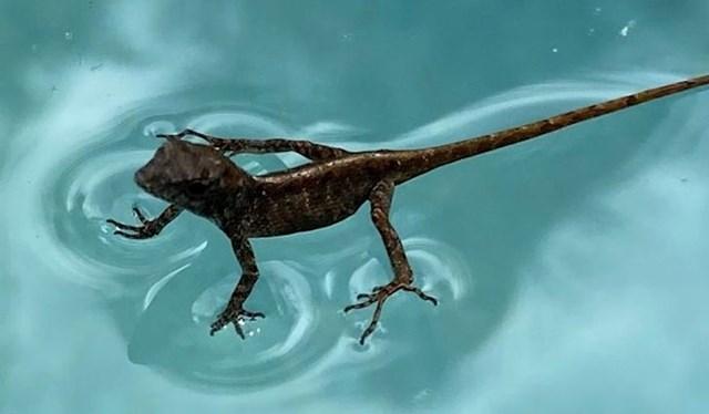 Neki gušteri imaju toliko malu masu da mogu stajati i trčati po površini vode