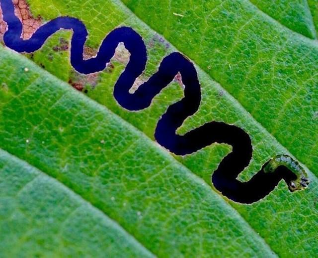 Nije rijeka Amazona iz zraka, nego samo jedna gusjenica i list :)