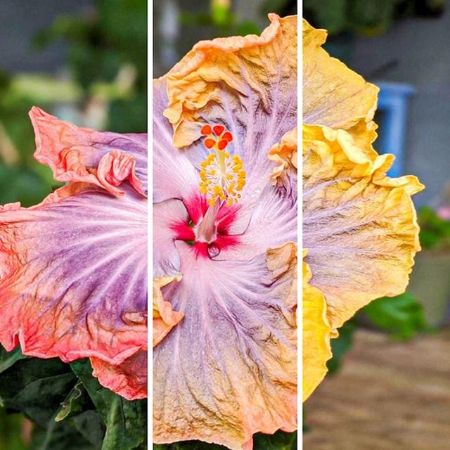 """""""Moj hibiskus mijenja boje kako cvjeta. Ovo je isti cvijet fotografiran u 8:30 (ružičasto), 11:30 (narančasto) i 16:30 (žuto)"""""""