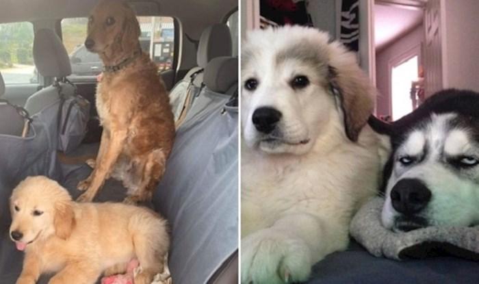 Psi koji su bili savršeno zadovoljni svojim životom dok nisu dobili novog brata ili sestru