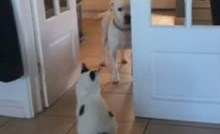 Vlasnica je snimila svog psa koji se boji proći pored mačke, ovo je urnebesno
